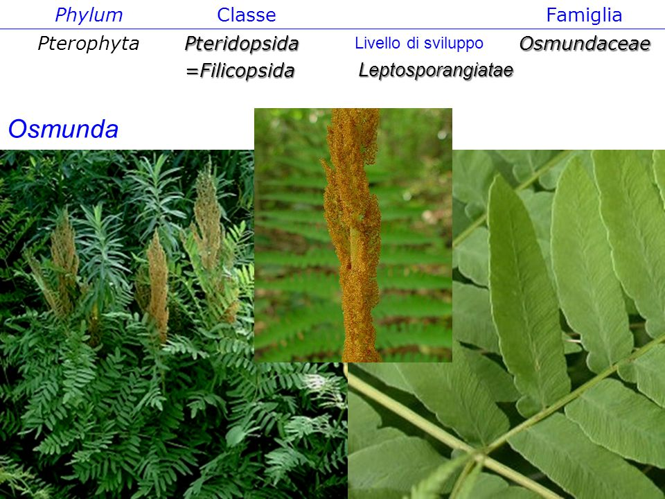 Phylum ClasseFamiglia PterophytaPteridopsida=FilicopsidaOsmundaceae Leptosporangiatae Livello di sviluppo Osmunda
