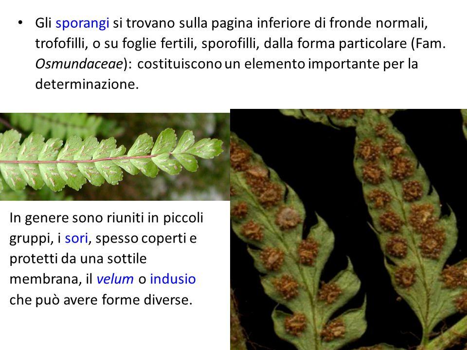 Gli sporangi si trovano sulla pagina inferiore di fronde normali, trofofilli, o su foglie fertili, sporofilli, dalla forma particolare (Fam. Osmundace
