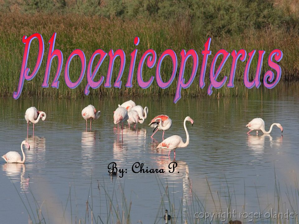 Nome scientifico: Phoenicopterus, phoenicopterus ruber Nome sardo: su flamingu, mangoi o gent arrubia Nome inglese: greater flamingo Classe: Aves O r d i n e : P h o e n i c o p t e r i f o r m e s Famiglia: Phoenicopteridae Genere: Phoenicopterus
