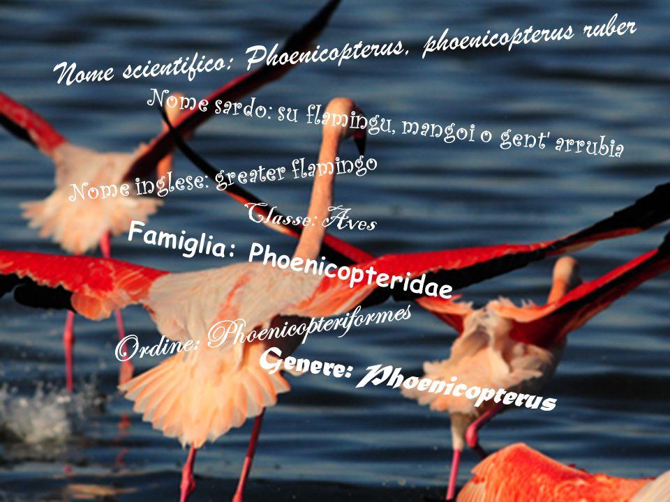 Nome scientifico: Phoenicopterus, phoenicopterus ruber Nome sardo: su flamingu, mangoi o gent' arrubia Nome inglese: greater flamingo Classe: Aves O r