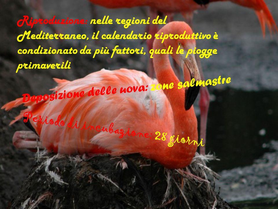 Riproduzione: nelle regioni del Mediterraneo, il calendario riproduttivo è condizionato da più fattori, quali le piogge primaverili Deposizione delle