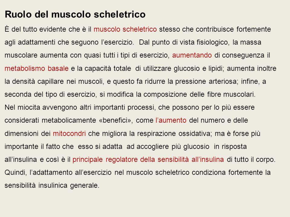 Ruolo del muscolo scheletrico È del tutto evidente che è il muscolo scheletrico stesso che contribuisce fortemente agli adattamenti che seguono l'esercizio.