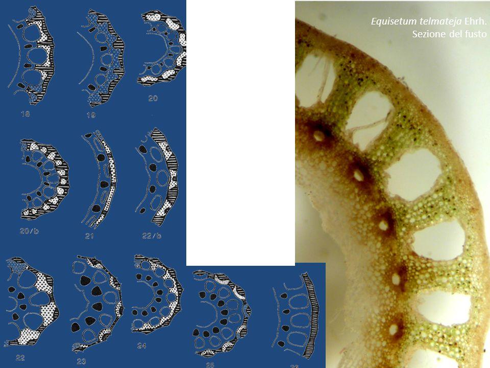 Sui nodi sono inseriti verticilli di microfilli (cioè piccole foglie, minori di 2cm) appuntiti e concresciuti alla base in una guaina che avvolge il fusto.