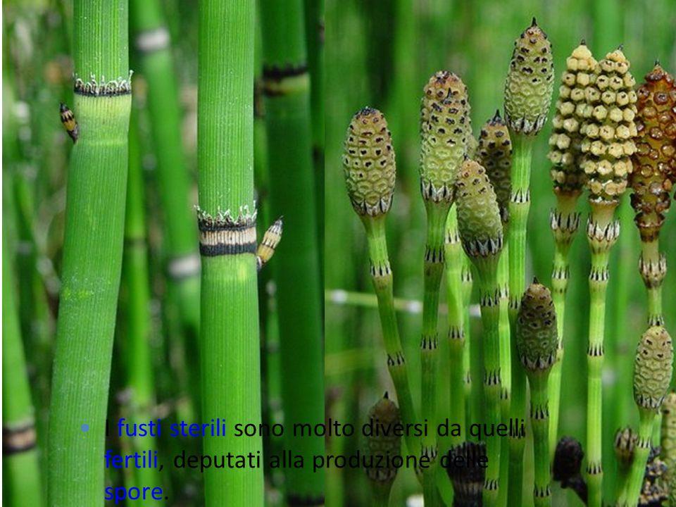 I fusti sterili sono molto diversi da quelli fertili, deputati alla produzione delle spore.