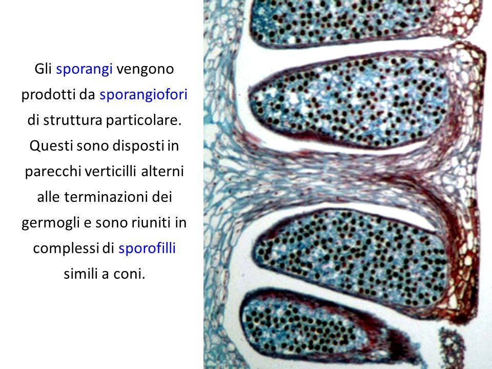 Gli sporofilli sono peltati, cioè hanno la forma di un tavolino ad una gamba, e sulla faccia inferiore sono inseriti 5-10 sporangi sacciformi che liberano numerose meiospore verdi.