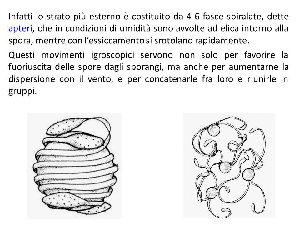 Infatti lo strato più esterno è costituito da 4-6 fasce spiralate, dette apteri, che in condizioni di umidità sono avvolte ad elica intorno alla spora, mentre con l'essiccamento si srotolano rapidamente.