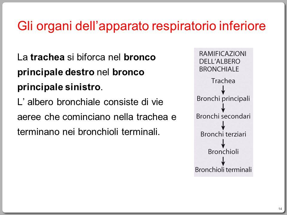 14 Gli organi dell'apparato respiratorio inferiore La trachea si biforca nel bronco principale destro nel bronco principale sinistro. L' albero bronch