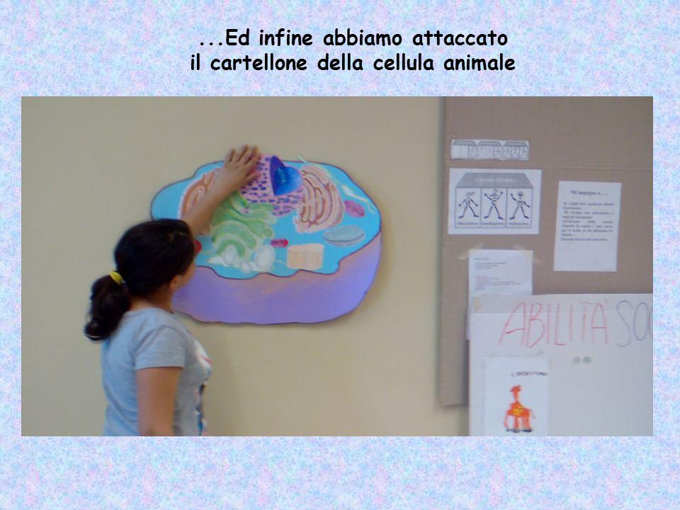 ...Ed infine abbiamo attaccato il cartellone della cellula animale