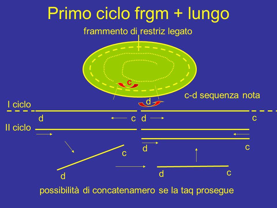 Primo ciclo frgm + lungo d d c c d frammento di restriz legato c-d sequenza nota I ciclo II ciclo d c d c d c c possibilità di concatenamero se la taq