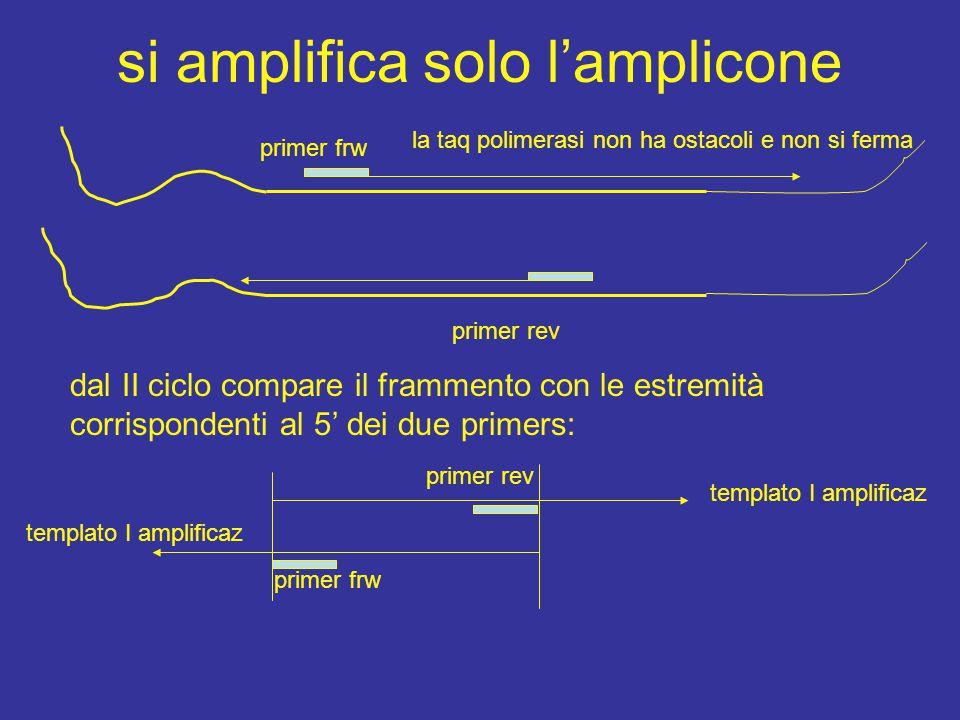 si amplifica solo l'amplicone dal II ciclo compare il frammento con le estremità corrispondenti al 5' dei due primers: primer frw la taq polimerasi non ha ostacoli e non si ferma primer rev primer frw templato I amplificaz