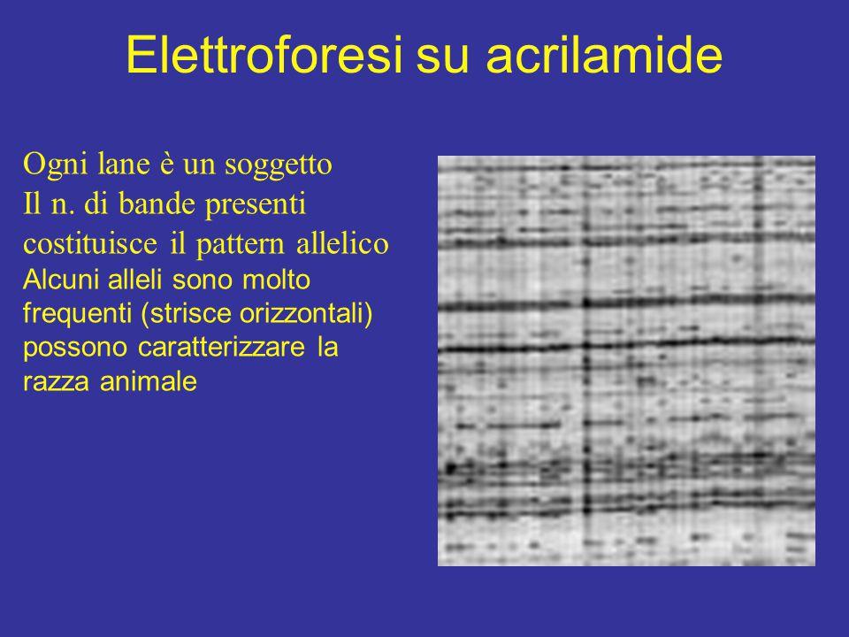 Elettroforesi su acrilamide Ogni lane è un soggetto Il n. di bande presenti costituisce il pattern allelico Alcuni alleli sono molto frequenti (strisc