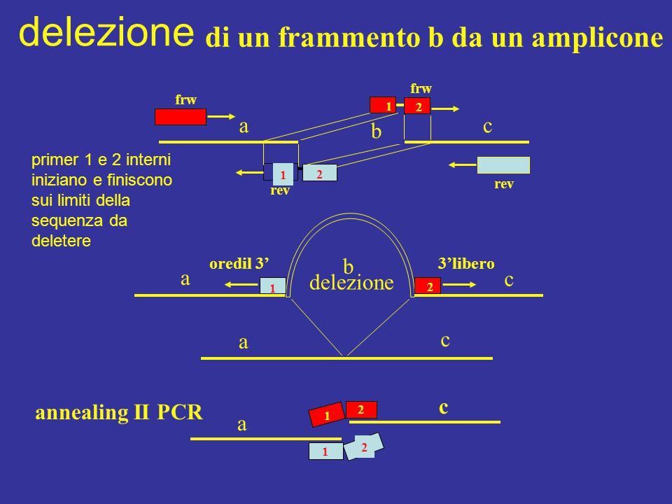 di un frammento b da un amplicone 1 1 2 frw rev a b c delezione a b a c 1 2 c 3'liberooredil 3' 2 1 2 2 2 1 c a annealing II PCR delezione primer 1 e