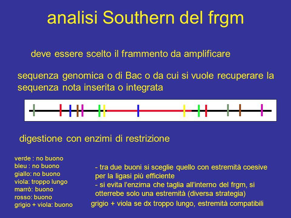 dopo l'analisi Southern Dopo l'individuazione del frammento di ampiezza conveniente - digestione del DNA con l'enzima prescelto - arricchimento del frammento con corsa su gel (opzionale) - ligasi - PCR con primers divergenti - eventualmente seconda PCR con primers nested ancora più esterni ai primi, ma interni al frgm lineare - una PCR produce sempre frgm lineari !!!!