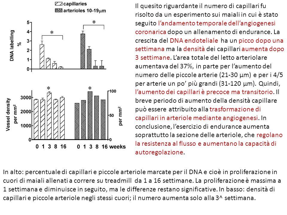 Il quesito riguardante il numero di capillari fu risolto da un esperimento sui maiali in cui è stato seguito l'andamento temporale dell'angiogenesi co