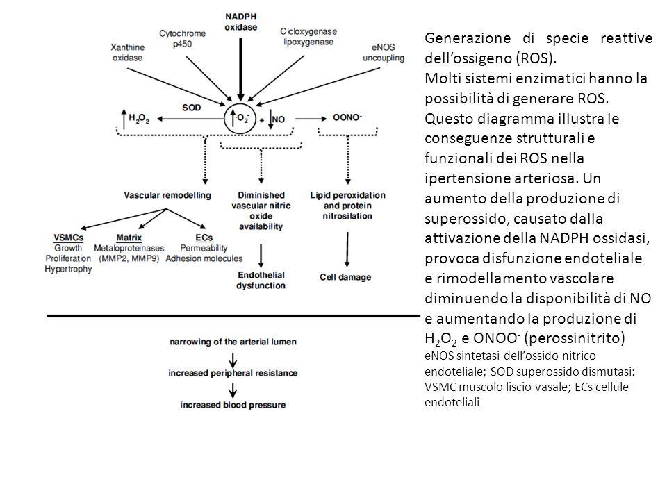 Generazione di specie reattive dell'ossigeno (ROS). Molti sistemi enzimatici hanno la possibilità di generare ROS. Questo diagramma illustra le conseg