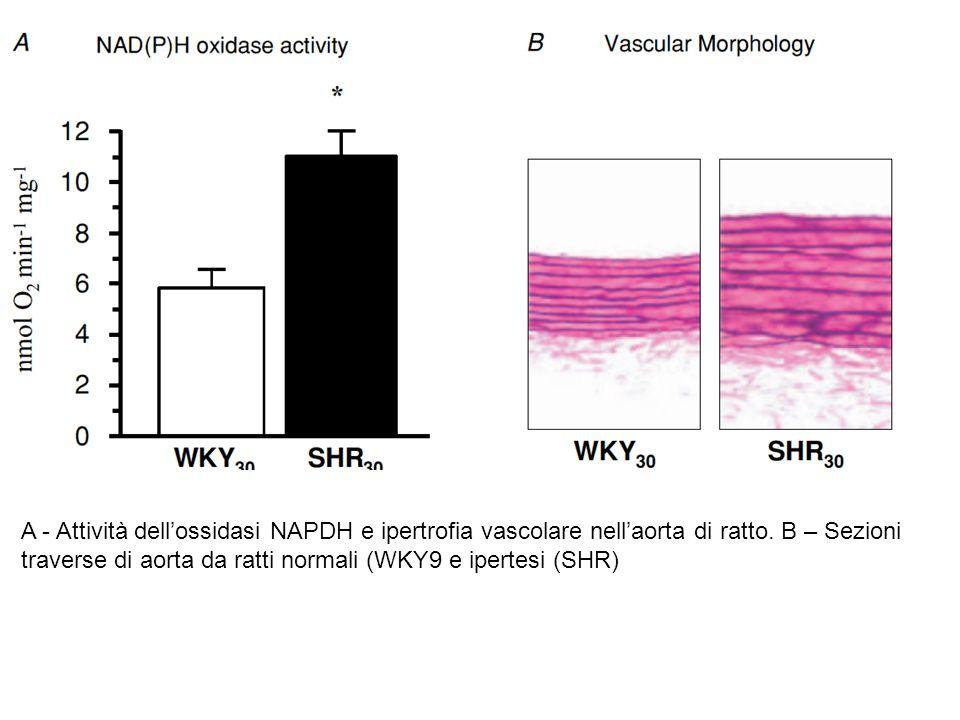 A - Attività dell'ossidasi NAPDH e ipertrofia vascolare nell'aorta di ratto. B – Sezioni traverse di aorta da ratti normali (WKY9 e ipertesi (SHR)