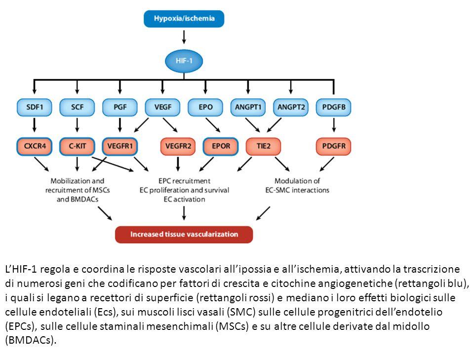 L'HIF-1 regola e coordina le risposte vascolari all'ipossia e all'ischemia, attivando la trascrizione di numerosi geni che codificano per fattori di c