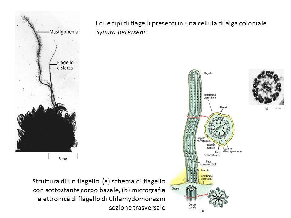 I due tipi di flagelli presenti in una cellula di alga coloniale Synura petersenii Struttura di un flagello. (a) schema di flagello con sottostante co
