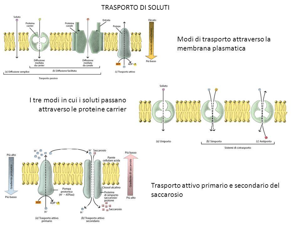 Modi di trasporto attraverso la membrana plasmatica I tre modi in cui i soluti passano attraverso le proteine carrier Trasporto attivo primario e seco