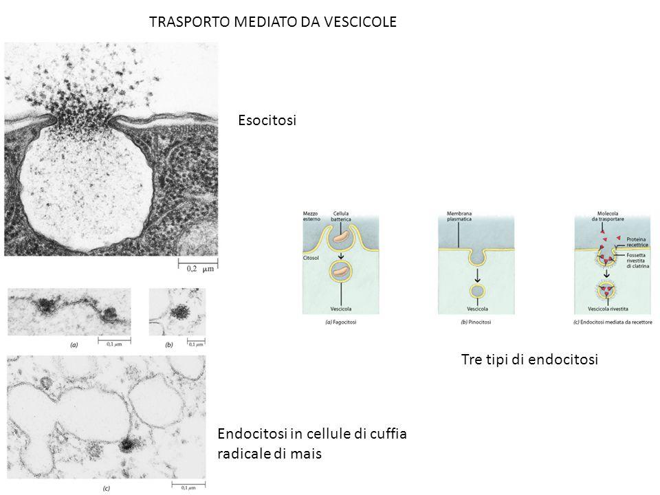 TRASPORTO MEDIATO DA VESCICOLE Esocitosi Tre tipi di endocitosi Endocitosi in cellule di cuffia radicale di mais