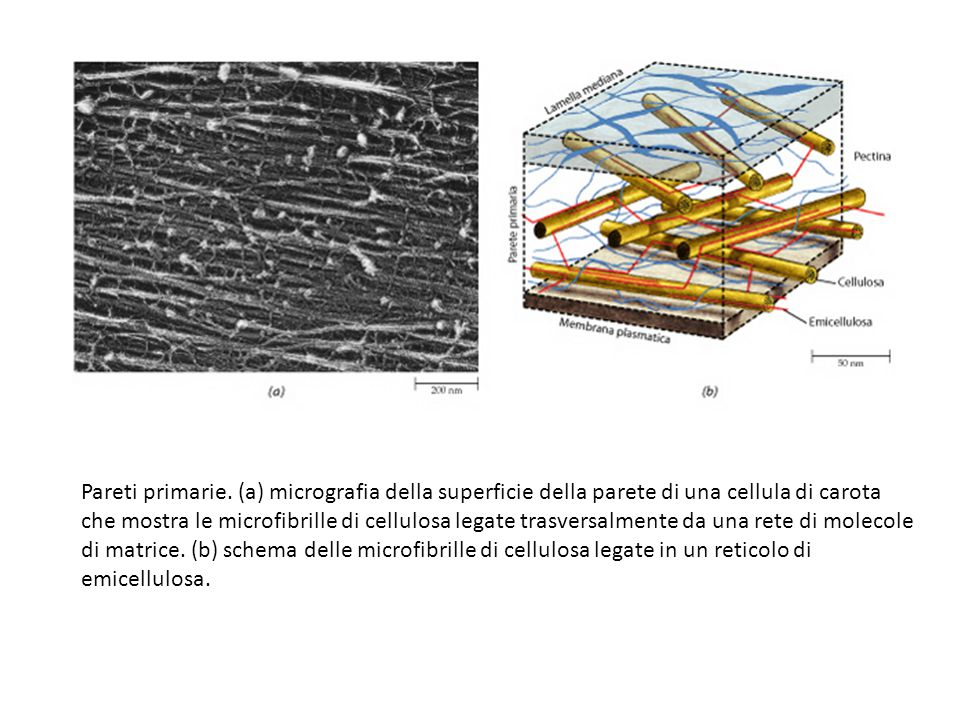Pareti primarie. (a) micrografia della superficie della parete di una cellula di carota che mostra le microfibrille di cellulosa legate trasversalment