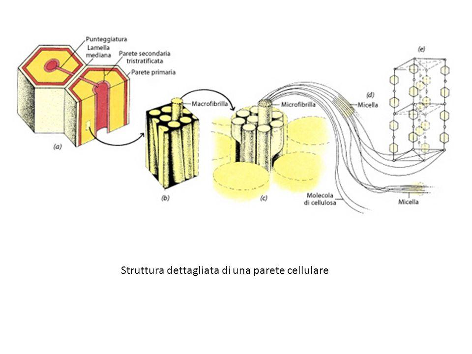 Struttura dettagliata di una parete cellulare