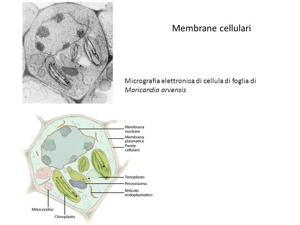 Membrane cellulari Micrografia elettronica di cellula di foglia di Moricandia arvensis