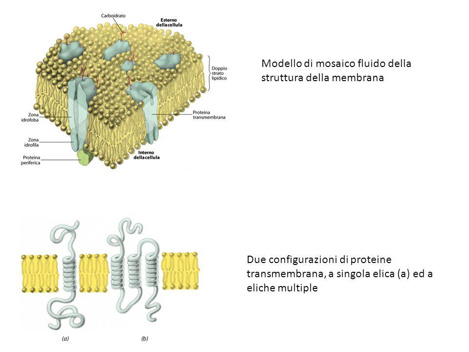 Modello di mosaico fluido della struttura della membrana Due configurazioni di proteine transmembrana, a singola elica (a) ed a eliche multiple
