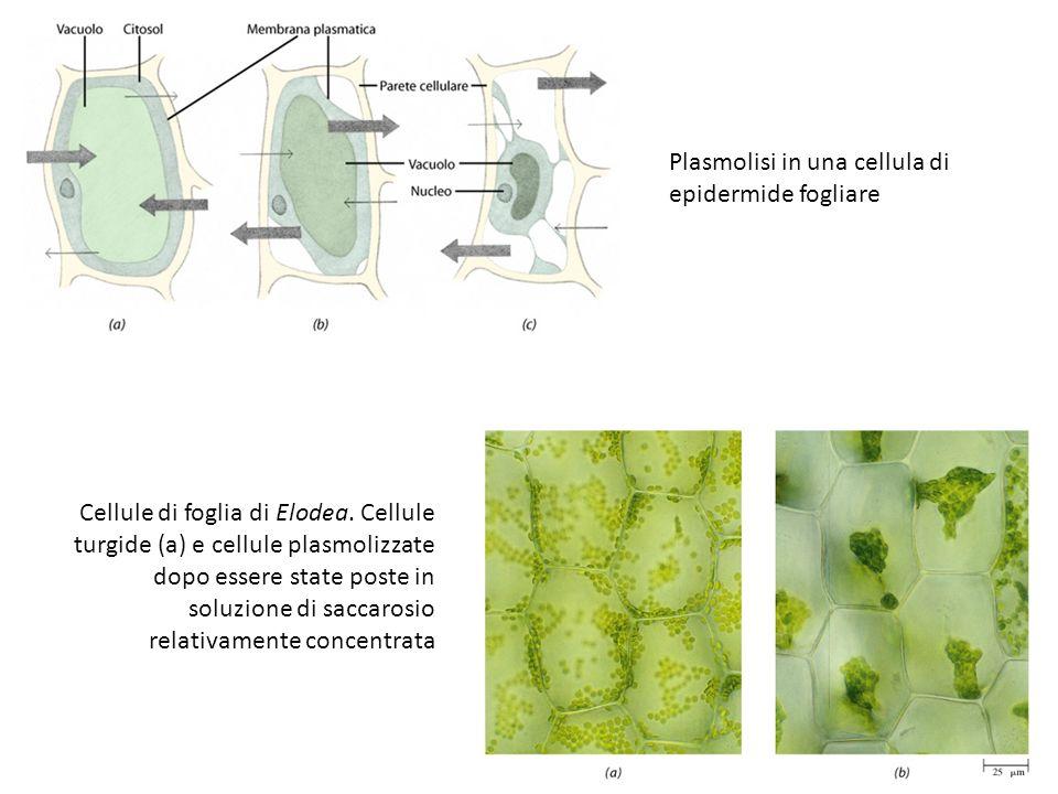 Plasmolisi in una cellula di epidermide fogliare Cellule di foglia di Elodea. Cellule turgide (a) e cellule plasmolizzate dopo essere state poste in s