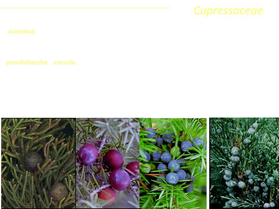 Con la maturazione (1-3 anni) le squame diventano carnose e coalescenti fra di loro formando pseudobacche o coccole, rosso brunastre (Juniperus phoenicea L.