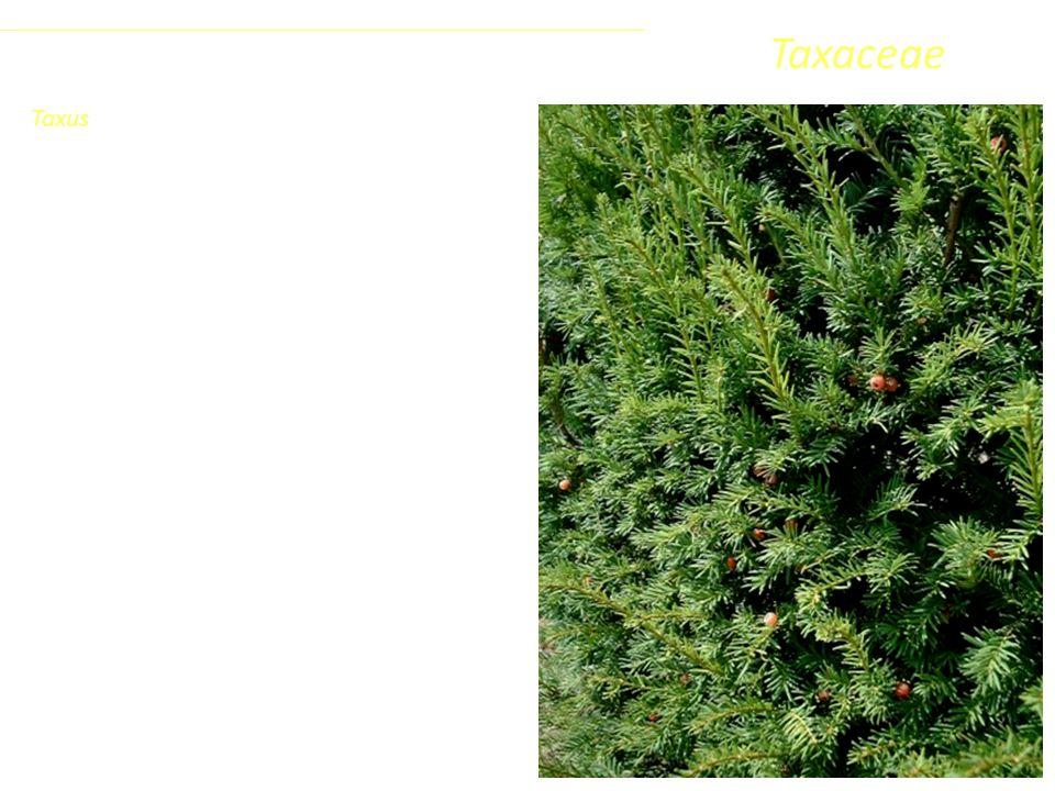 Taxaceae L'unico rappresentante europeo è il Tasso (Taxus baccata), arbusto o albero di modesta statura, 15-18 m, specie molto longeva (oltre 1000 anni) ed a lento accrescimento.