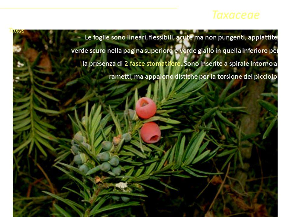 Taxaceae Le foglie sono lineari, flessibili, acute ma non pungenti, appiattite, verde scuro nella pagina superiore e verde giallo in quella inferiore per la presenza di 2 fasce stomatifere.