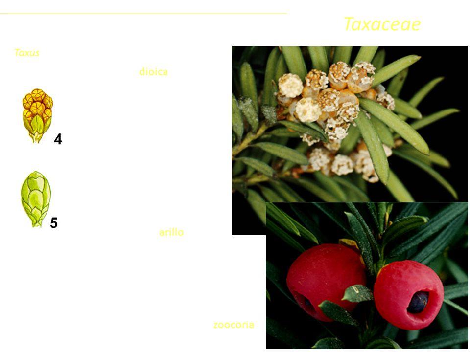 Taxaceae È una specie dioica.