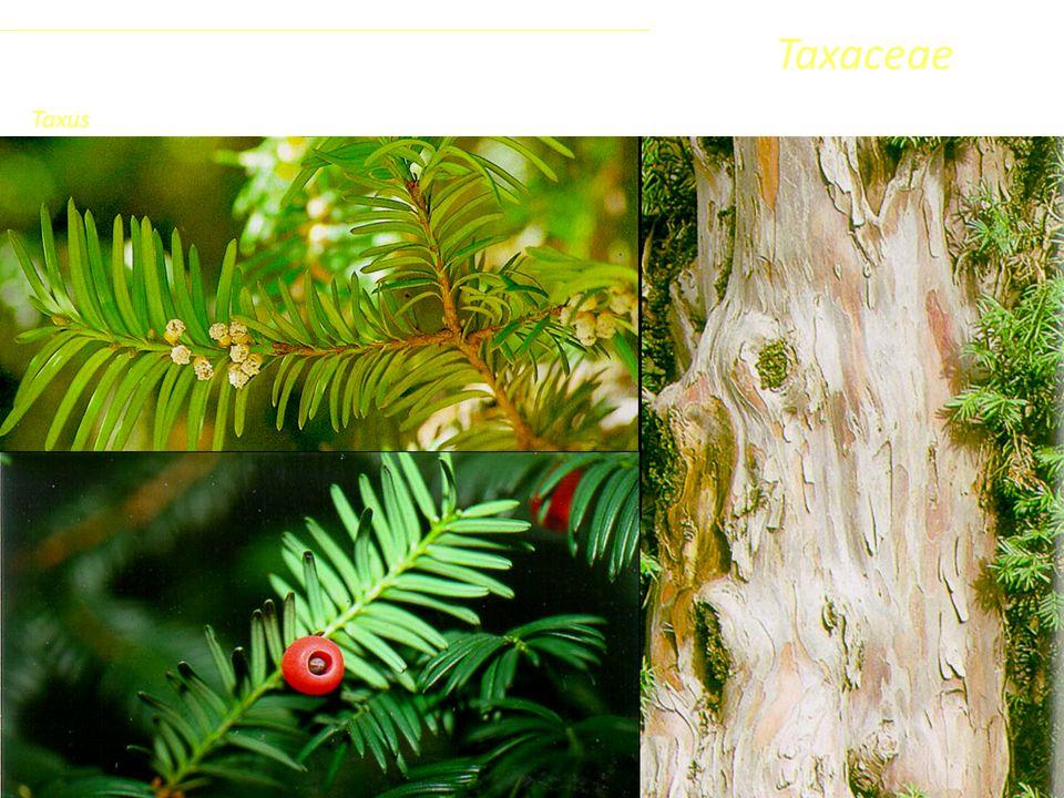 Sottoclasse ClassePhylumFamiglia Coniferophyta PinopsidaPinidae - Conifere Taxaceae Taxus
