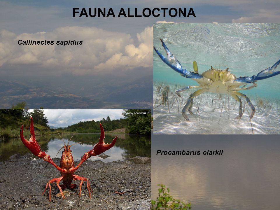 FAUNA ALLOCTONA Callinectes sapidus Procambarus clarkii
