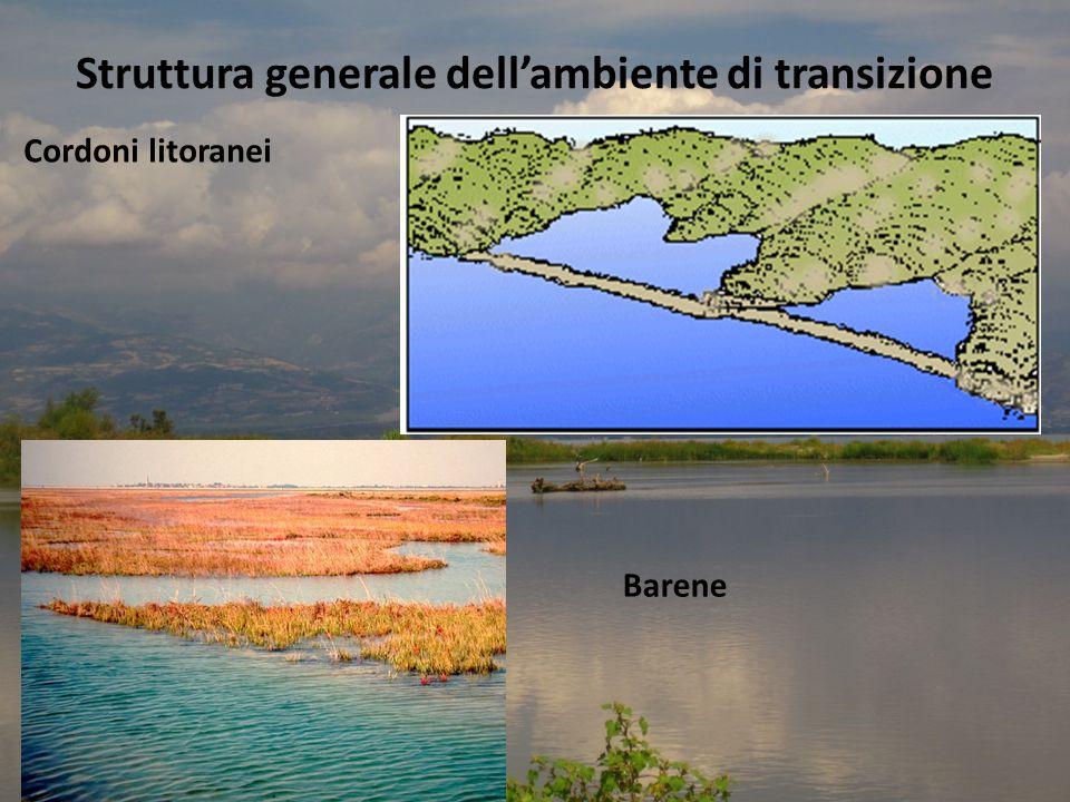 Struttura generale dell'ambiente di transizione Cordoni litoranei Barene