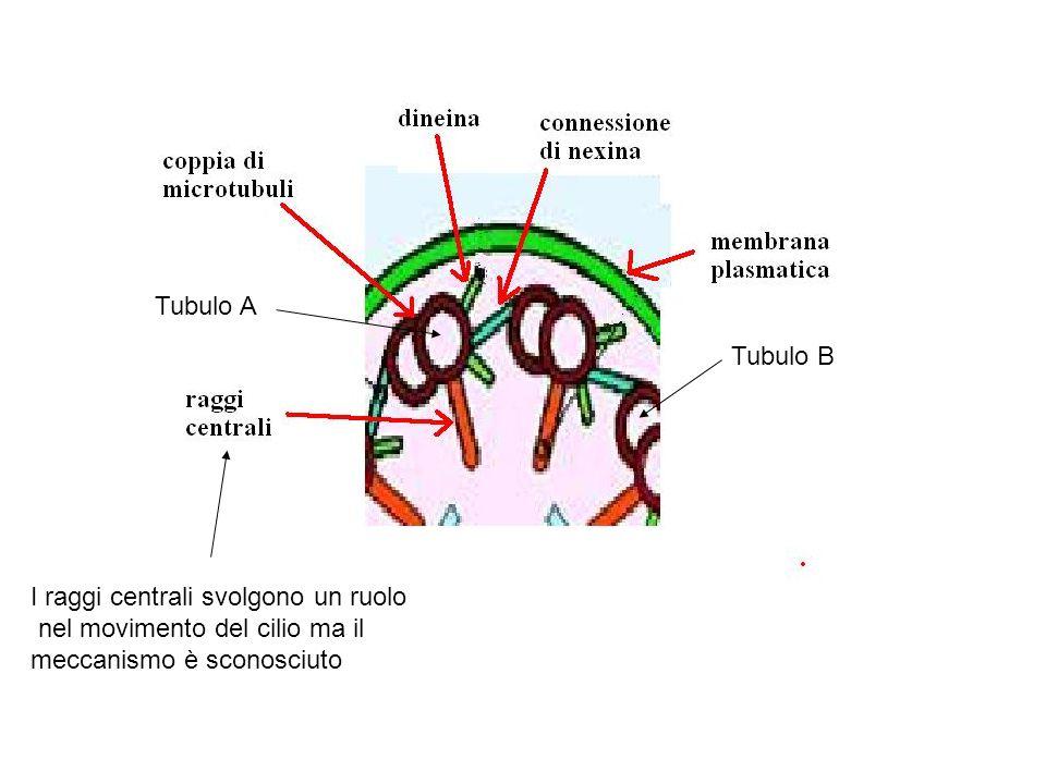 Tubulo B Tubulo A I raggi centrali svolgono un ruolo nel movimento del cilio ma il meccanismo è sconosciuto