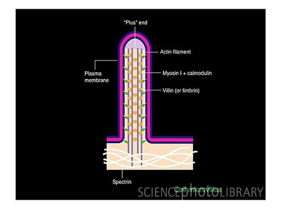 La struttura del flagello è identica a quella del cilio