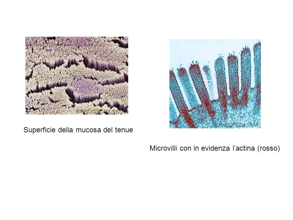 Superficie della mucosa del tenue Microvilli con in evidenza l'actina (rosso)