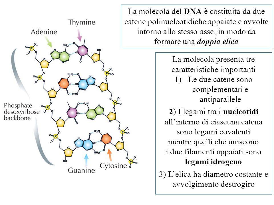 La molecola del DNA è costituita da due catene polinucleotidiche appaiate e avvolte intorno allo stesso asse, in modo da formare una doppia elica La molecola presenta tre caratteristiche importanti 1)Le due catene sono complementari e antiparallele 2) I legami tra i nucleotidi all'interno di ciascuna catena sono legami covalenti mentre quelli che uniscono i due filamenti appaiati sono legami idrogeno 3) L'elica ha diametro costante e avvolgimento destrogiro
