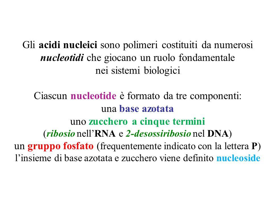 Gli acidi nucleici sono polimeri costituiti da numerosi nucleotidi che giocano un ruolo fondamentale nei sistemi biologici Ciascun nucleotide è formato da tre componenti: una base azotata uno zucchero a cinque termini (ribosio nell'RNA e 2-desossiribosio nel DNA) un gruppo fosfato ( frequentemente indicato con la lettera P) l'insieme di base azotata e zucchero viene definito nucleoside
