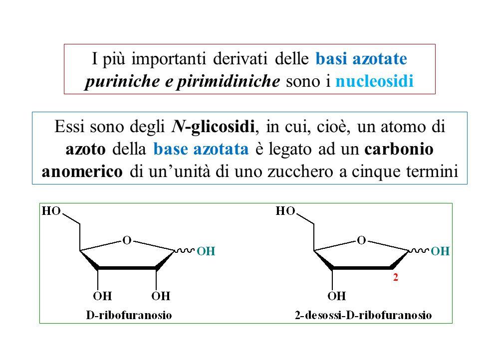 I più importanti derivati delle basi azotate puriniche e pirimidiniche sono i nucleosidi Essi sono degli N-glicosidi, in cui, cioè, un atomo di azoto della base azotata è legato ad un carbonio anomerico di un'unità di uno zucchero a cinque termini