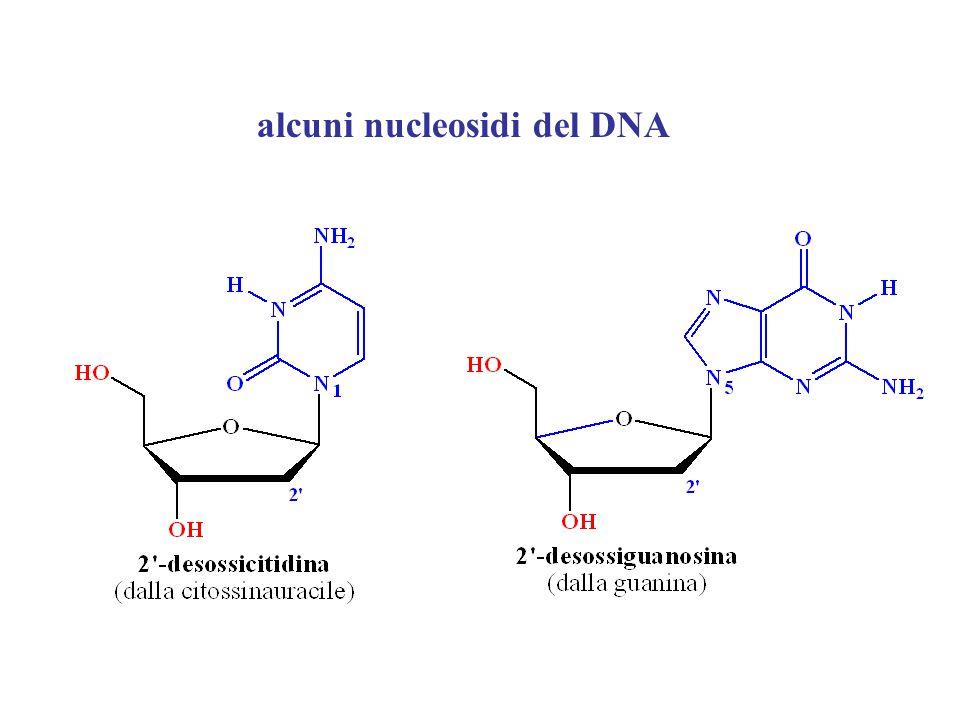 alcuni nucleosidi del DNA