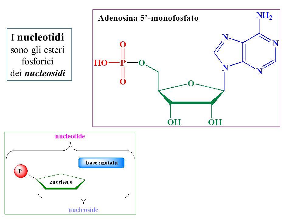 I nucleotidi si possono legare fra loro mediante un ponte fosfato o fosfodiestereo che si forma tra l'ossidrile in posizione 3' della prima unità e quello in posizione 5'della seconda per formare degli oligomeri (oligonucleotidi) A C G I nucleotidi monomeri si uniscono tra loro per formare catene molto lunghe Per convenzione le sequenze oligonucleotidiche vengono indicate e scritte dall'estremità terminale 5' libera all'estremità 3' libera ACG (adenina, citosina, guanina)