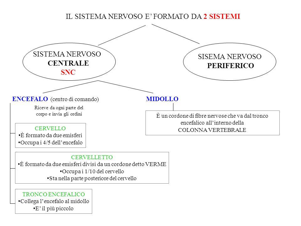 IL SISTEMA NERVOSO E' FORMATO DA 2 SISTEMI SISTEMA NERVOSO CENTRALE SNC SISEMA NERVOSO PERIFERICO ENCEFALO (centro di comando) MIDOLLO Riceve da ogni