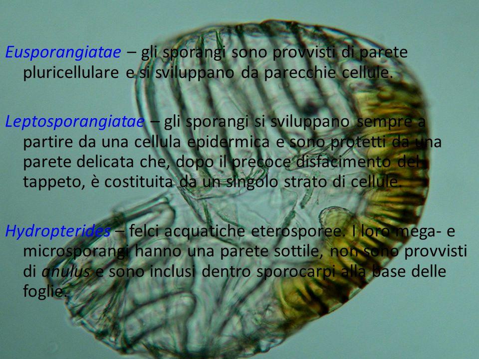 Eusporangiatae – gli sporangi sono provvisti di parete pluricellulare e si sviluppano da parecchie cellule. Leptosporangiatae – gli sporangi si svilup