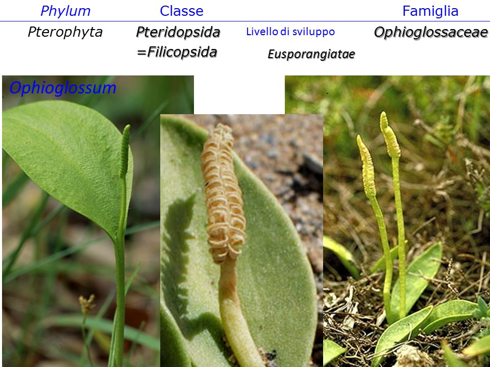 Phylum ClasseFamiglia PterophytaPteridopsida=FilicopsidaOphioglossaceae Eusporangiatae Ophioglossum Livello di sviluppo