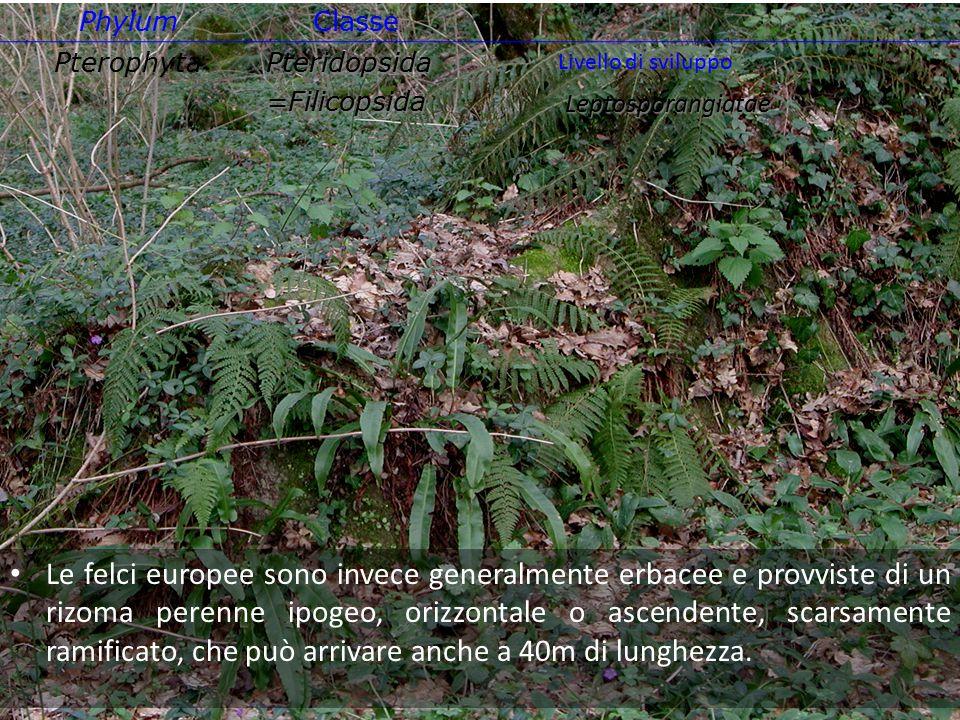 Le felci europee sono invece generalmente erbacee e provviste di un rizoma perenne ipogeo, orizzontale o ascendente, scarsamente ramificato, che può a