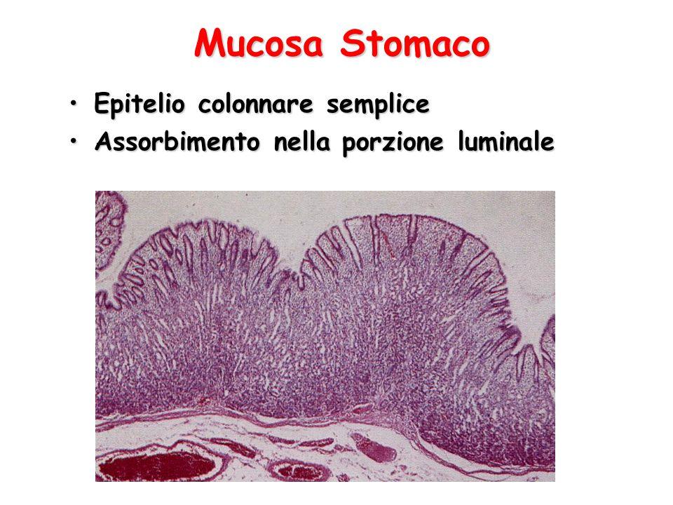 Mucosa Stomaco Epitelio colonnare sempliceEpitelio colonnare semplice Assorbimento nella porzione luminaleAssorbimento nella porzione luminale