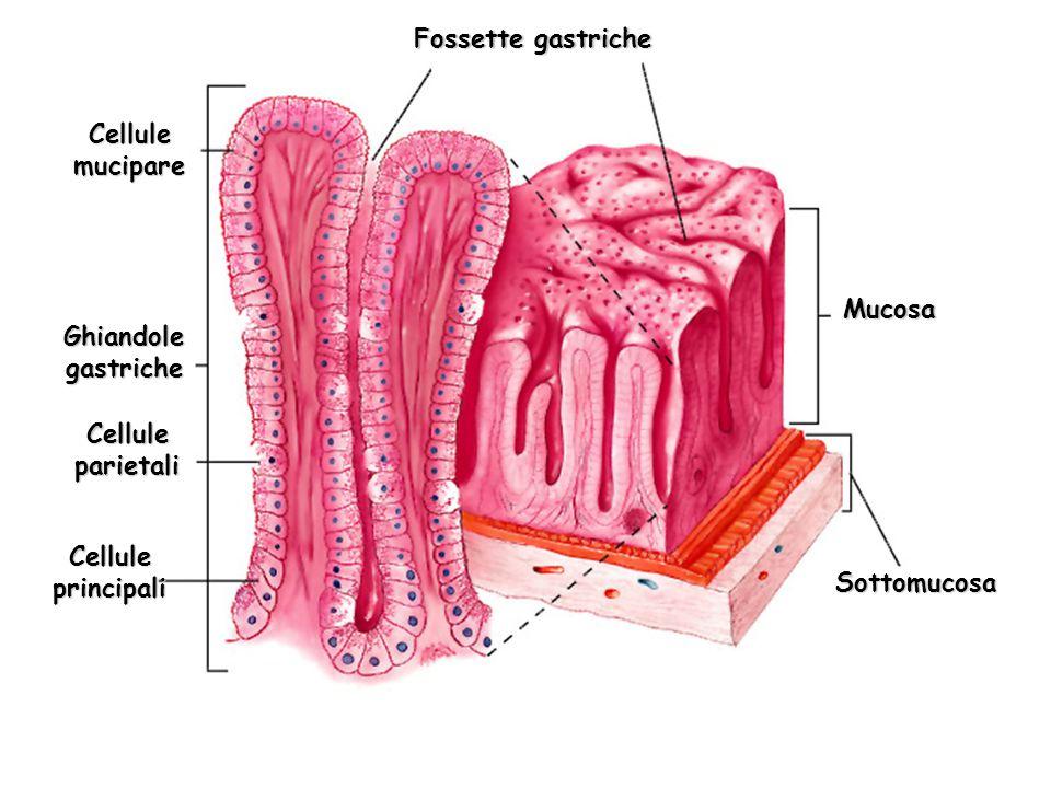 Fossette gastriche Mucosa Sottomucosa Cellule mucipare Ghiandole gastriche Cellule parietali Cellule principali